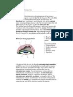 Bilaminar Embryonic Disc