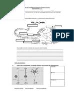 Guía de Actividades de Neurona e Impulso Nervioso