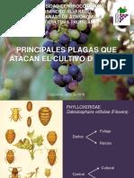 Plagas en  Viticultura Tropical