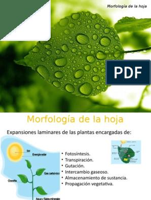 Morfología De La Hoja Hoja Tallo De La Planta