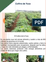 El Cultivo de Yuca -1