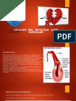 CELULAS-DEL-MUSCULO-LISO(1)