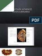 Anatomía aparato genitourinario