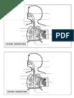 El aparato respiratorio - dibujo.docx