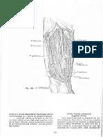 vascularizatie membru