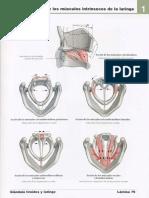 Acciones de los músculos intrínsecos de la laringe