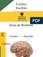 Areas Cerebrales, Brodman Clase 1