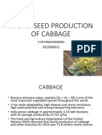 Cabbage hybrid seed production
