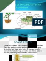 Transporte de La Savia Bruta y Savia Elaborada.pptx