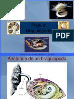 Phylum Braquiopoda