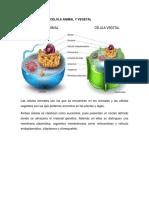 DIFERENCIA ENTRE CÉLULA ANIMAL Y VEGETAL.docx