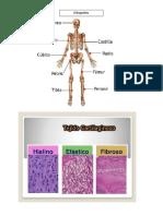 Formacion y Crecimiento de Los Huesos
