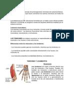 Diferencia Entre Nervio-musculo-tendon y Ligamento