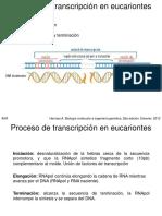 4. Transcripción en eucariontes Parte 2