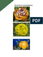 Flor Botao de Ouro Ou Ranunculo