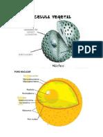 Partes de La Celula Vegetal