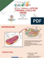 Cadena de Transporte de Electrones y Ciclo de Krebs.pptx 4