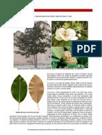 2013_12 Magnolia Grandiflora
