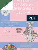 irrigación de cintura pectoral