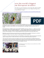 Bombus Dahlbombii faces extinction in Chile