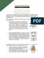 Resumen Formación Del Macizo Facial