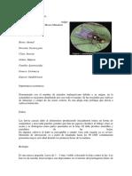 Liriomyza huidobrensis