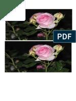 mawar 12