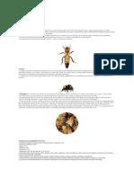 datos de la abeja melífera