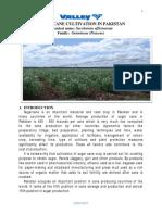 Sugar Cane Cultivation in Pakistan