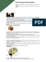 Cerebro Humano.docx