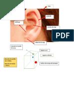 practica de antomia del  oido.docx