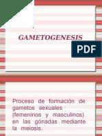 gametogénesis
