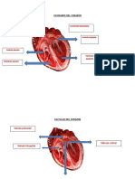 anatomia corazon.docx