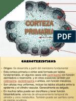 corteza primaria y secundaria
