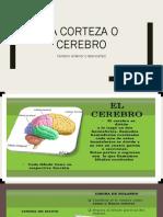 Lobulos Cerebrales y Cortex Cuarta Conferencia