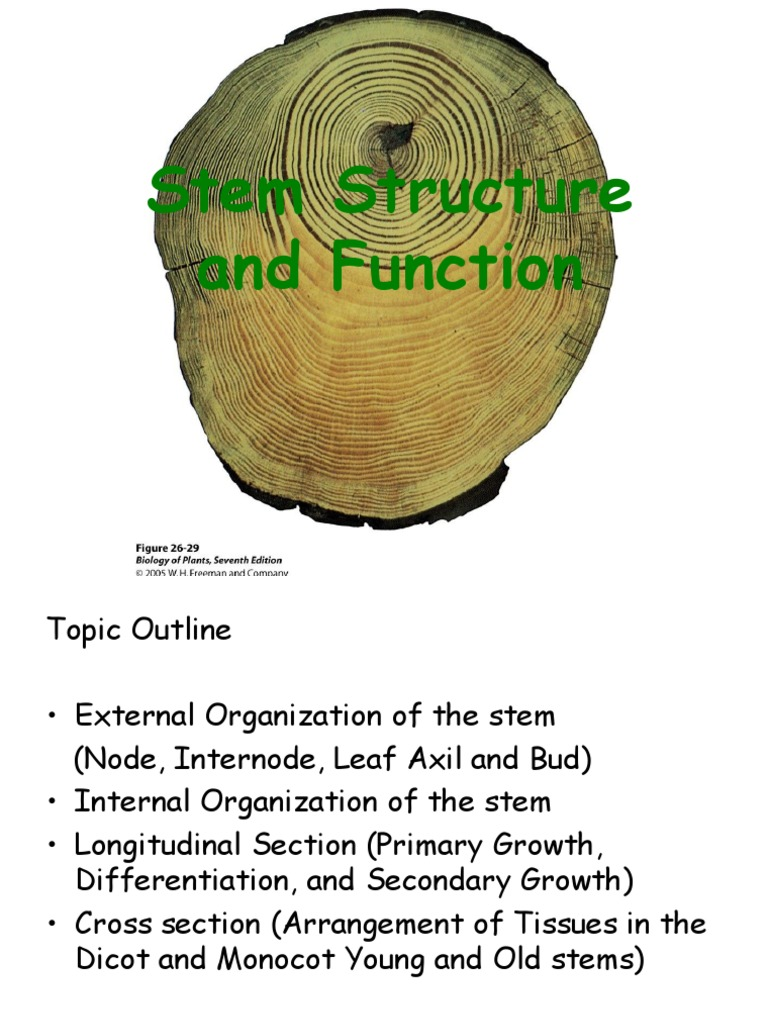Stem Structure And Function Plant Stem