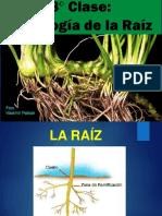 CLASE 8 - HISTOLOGIA RAIZ.pdf