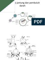 Embriologi jantung dan pembuluh darah.pptx