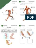 4 Músculos.docx