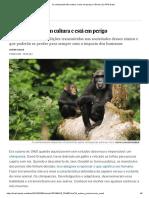 SALAS Javier - Os Chimpanzés Têm Cultura e Está Em Perigo _ Ciência _ EL PAÍS Brasil