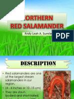 Northern Salamander