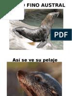 Lobo Fino Austral