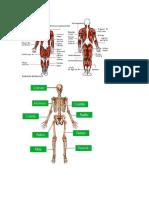 Anatomia-sistema Oseo y Muscular