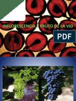 Morfologia y Anatomia de La Flor y Fruto de La Vid