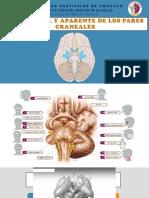 Origenes Reales y Aparentes de Nervios Craneales