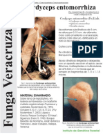 FUNGA VERACRUZANA Num.75 Cordyceps entomorrhiza
