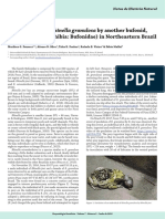 Predation of Rhinella granulosa by another bufonid, Rhinella jimi (Amphibia