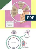 CITOLOGIA Lezione 6 Ciclo Cellulare-mitosi-meiosi 05-11-09