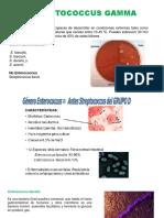 Streptococcus Gamma