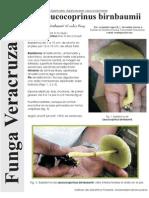 FUNGA VERACRUZANA Num.69 Leucocoprinus birnbaumii